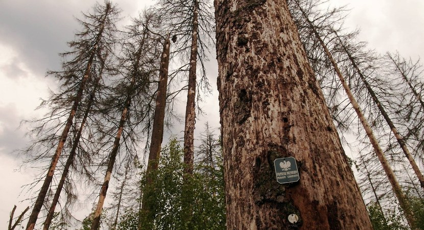 The european spruce bark beetle attack intensifies