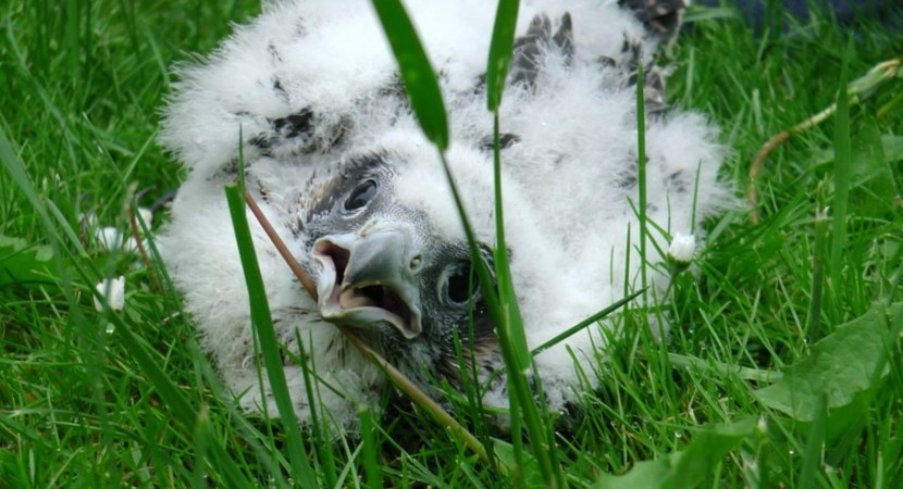 PEREGRINE FALCONS HAVE BEEN RINGED