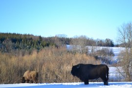 The European Bison relocation has just started