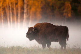 Let's not offend  The European Bison
