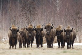 """Poland saves the bison"" Forum"