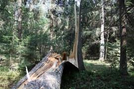 All about Białowieża Forest (leśnictwo)