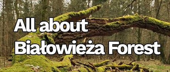All about Białowieża Forest (lasy)