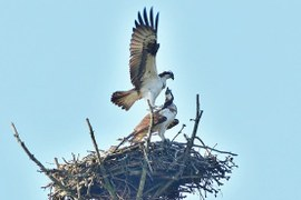 OSPREYS HAVE NESTED IN MIĘDZYCHÓD FOREST DISTRICT