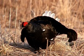 THE COOPERATIVE BLACK GROUSE COUNT