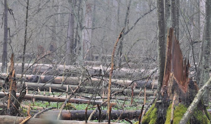 "This is what ""the pride"" of Białowieża Forest looks like today"