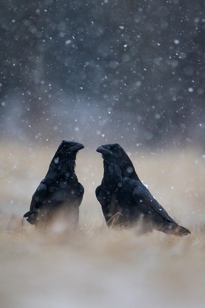 Zimowe zaloty.jpg