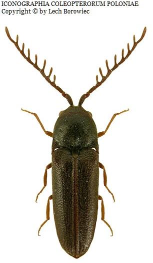 Microrhagus pygmaeus