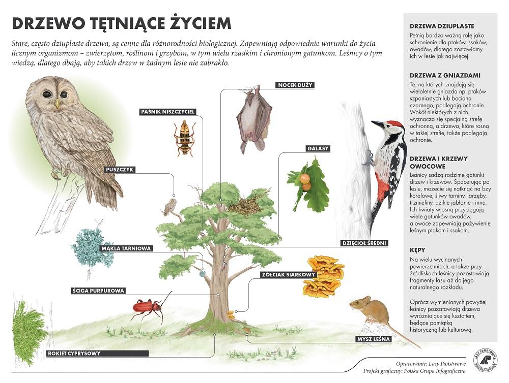 Infografika wyjaśniająca rolę starych, dziuplastych drzew w lesie
