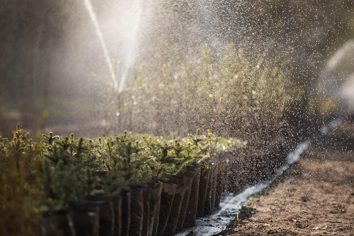Podlewanie sadzonek w szkółce leśnej