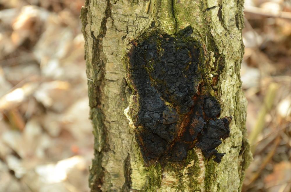 Należy pamiętać, że błyskoporek podkorowy jest w Polsce objęty ochroną częściową