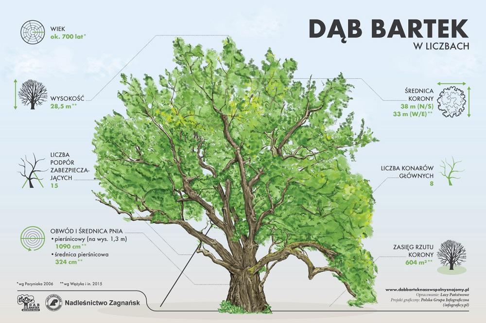 Dab_Bartek_online_charakterystyki.jpg
