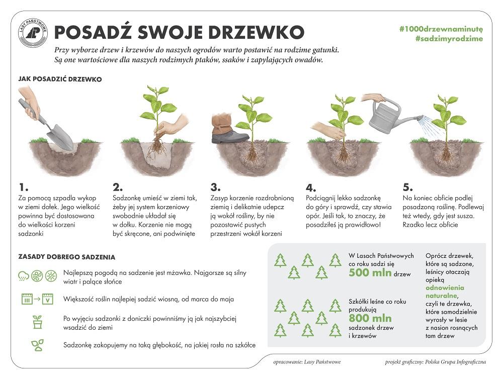 Infografika Sadzenie drzewek  źródło Centrum Informacyjne Lasów Państwowych.jpg
