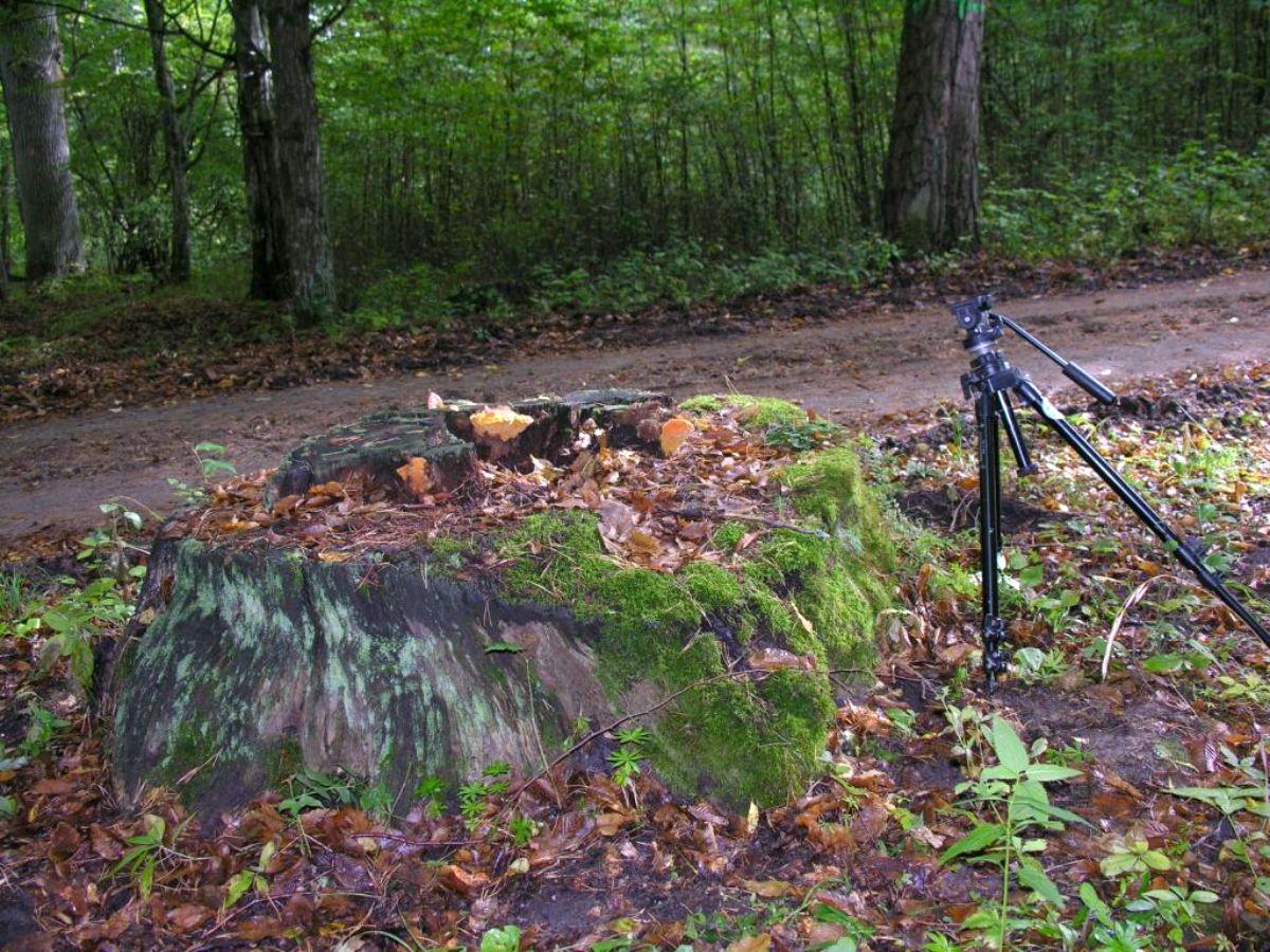 Fot. 5 Pniak zasiedlony przez miękusza szafranowego-nowe.jpg