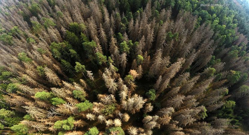 Spruce bark beetle in the Białowieża Forest