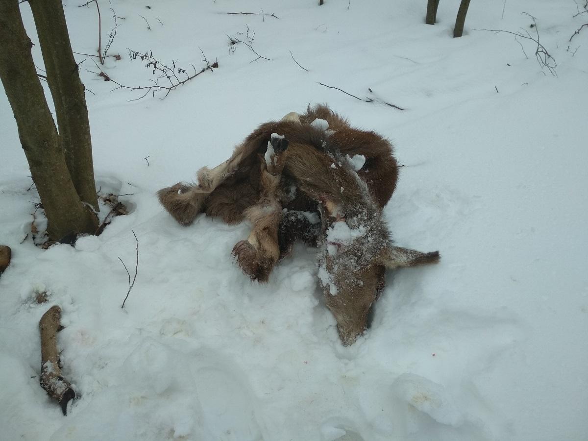 Wśród ofiar kłusowników były jelenie i sarny