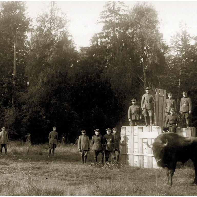 19 września 1929 r. Powrót pierwszych żubrów do Białowieży