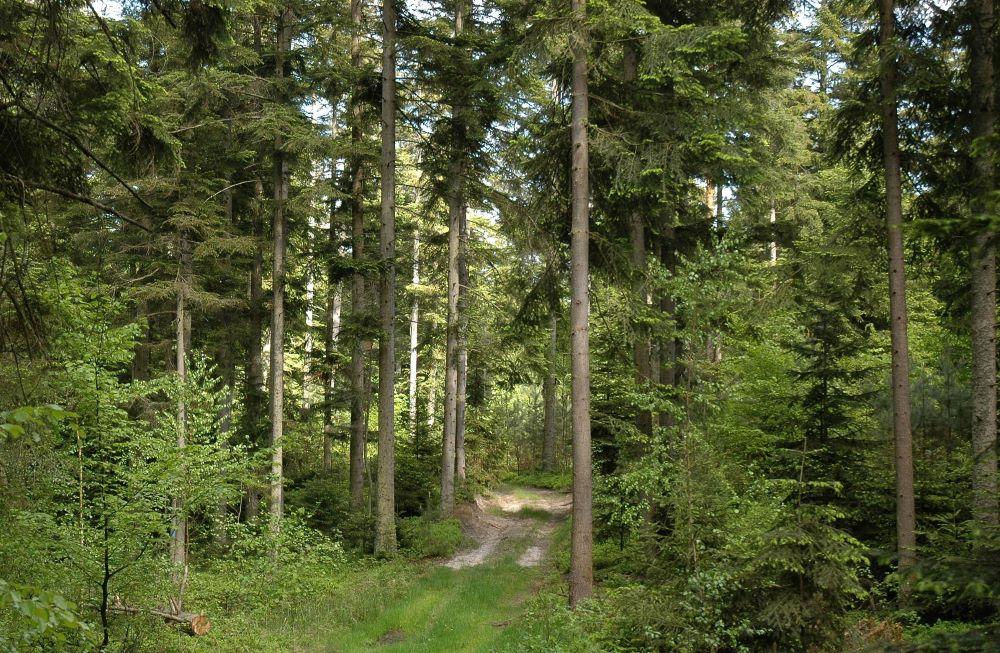 Lasy Janowskie - jodły w rezerwacie Lasy Janowskie. foto Andrzej Wediuk.jpg