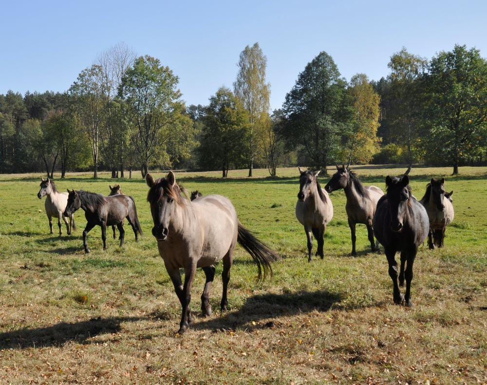 Lasy Janowskie - konie biłgorajskie w ostoi Szklarnia. foto Andrzej Wediuk.jpg