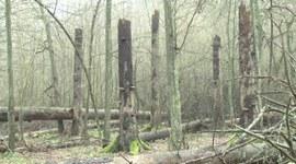 Dlaczego leśnicy muszą przeprowadzić cięcia sanitarne w Puszczy Białowieskiej?
