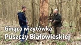 Ginąca wizytówka Puszczy Białowieskiej. Co się dzieje z Rezerwatem Szafera?