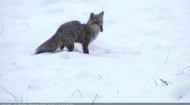 Lis (Vulpes vulpes) - zimowe polowanie na nornicę
