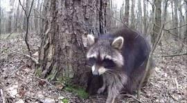 Szop pracz w szczecińskich lasach