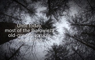 Why do the foresters have to act in the Białowieża Forest?