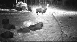 Wilki i żubry